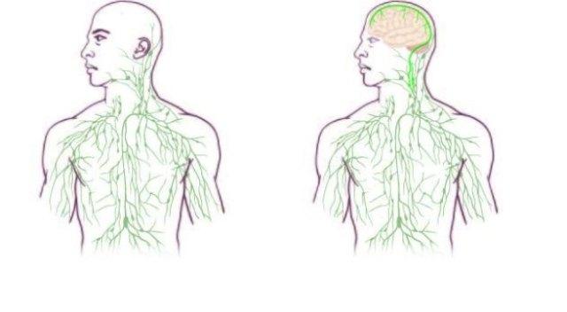 brain_lymphatic_188202622